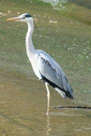 Le heron cendré des marais salants de Guérande