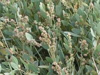 L'obione, plante des marais salants de Guérande