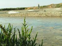 Les salicornes bio des marais salants de Guérande